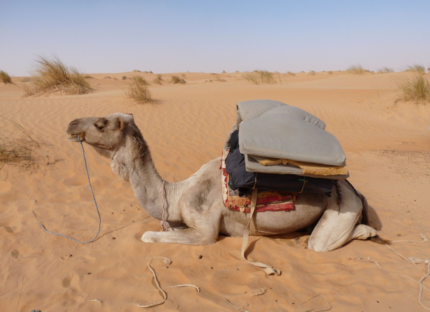 camel-in-adrar
